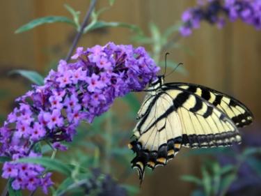 butterfly-bush-l