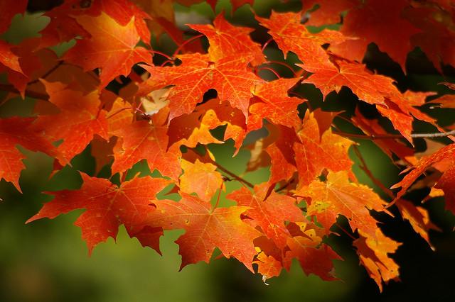 AutumnSugarMapleLeaves
